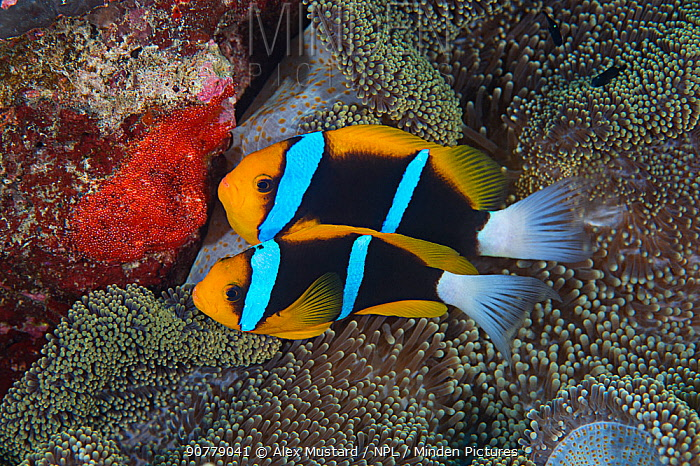 Orange-finned anemonefish (Amphiprion chrysopterus) guarding their recently spawned red eggs on a rock next to the host anemone. Rock Islands, Palau, Micronesia. Tropical west Pacific Ocean.
