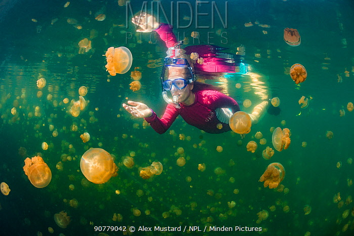 Snorkeller swimming through Golden jellyfish (Mastigias sp.) in a marine lake, Jellyfish Lake, Eil Malk island, Rock Islands, Palau. Tropical north Pacific Ocean.
