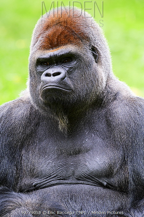 Male silverback western lowland gorilla (Gorilla gorilla gorilla) portrait, captive, Beauval Zoo, France