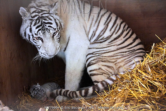 Female white or bleached tiger with her cub (Panthera tigris), aged 10 days. This tiger is a hybrid crossed from a Siberian tiger and a Bengal tiger, captive, France.