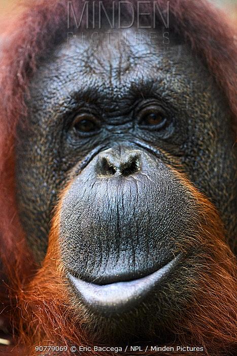 Bornean orangutan (Pongo pygmaeus) female head portrait, captive.  Parc Beauval  Zoo, France.