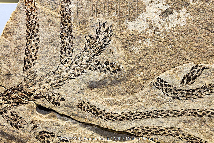 Close up of a fossil of a Conifer (Voltzia sp.) branch from the Middle Triassic period, Fossil Museum of Monte San Giorgio, Ticino, Switzerland.