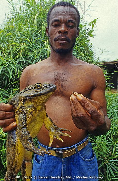 Man holding a Goliath frog (Conraua goliath) and Banana frog (Afrixalus sp) Sanaga, Cameroon. Hunted for bushmeat / food
