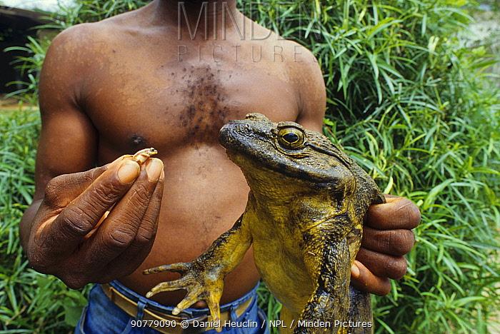 Man holding a large Goliath frog (Conraua goliath) and small Banana frog (Afrixalus sp) for size comparison, Sanaga, Cameroon. Hunted for bushmeat / food