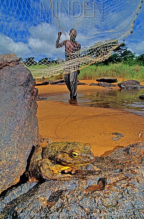 Man casting net to catch Goliath frog (Conraua goliath)  Sanaga, Cameroon. Hunted for bushmeat / food.