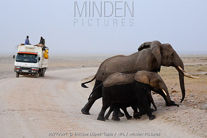 Small family of African elephants (Loxodonta africana) crossing road with truck in the background, Kenya.
