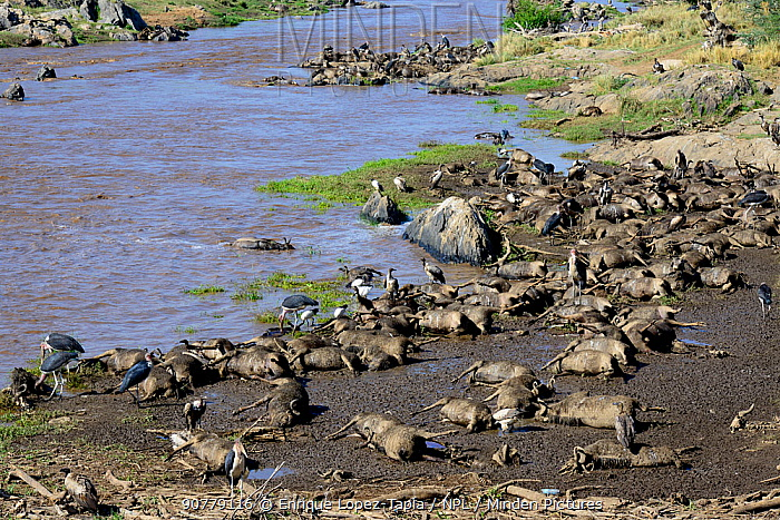 Carcasses of Wildebeest (Connochaetes taurinus) that drowned while trying to cross the Mara River, Masai Mara Triangle.
