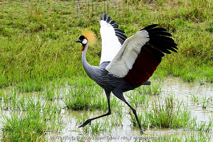 Black crowned-cranes (Balearica pavonina) male with wings spread  dancing during courtship,   Masai Mara, Kenya.