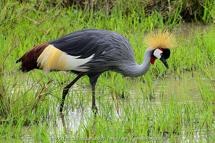 Black crowned-crane (Balearica pavonina) Masai Mara, Kenya.