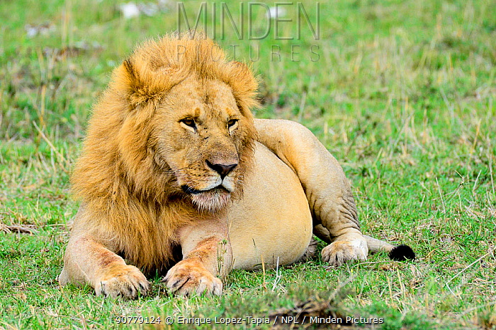 Lion (Panthera leo) resting, with a full stomach, after eating a wildebeest. Kenya.