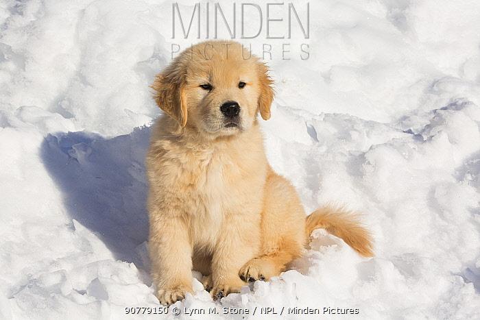 Golden Retriever pup in snow, Holland, Massachusetts, USA.