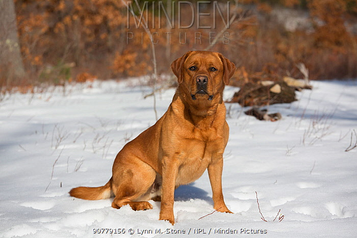 Labrador Retriever ('Red Fox' variety) in snowy field at edge of woodland, Danielson, Connecticut, USA.