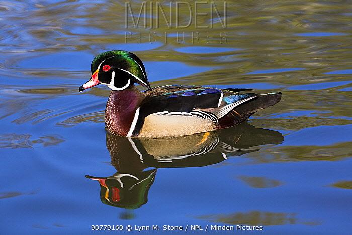 Wood duck (Aix sponsa) drake in breeding plumage, paddling, Orange, California, USA.