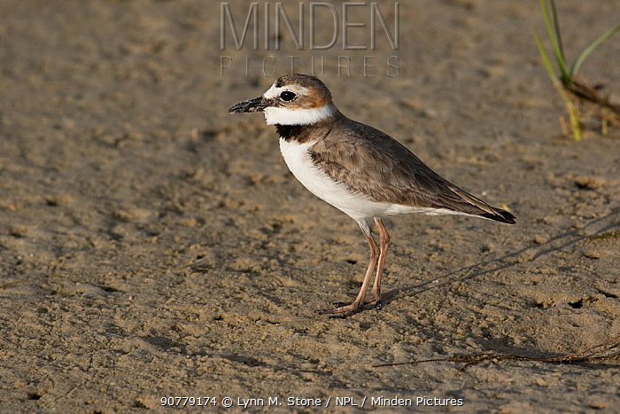 Semipalmated plover (Charadrius semipalmatus) on mud bar at low tide, St. Petersburg, Florida, USA. April.
