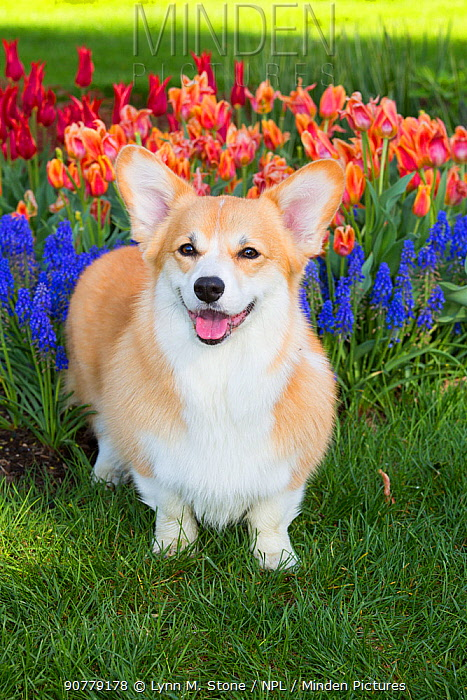 Pembrokeshire welsh corgi with spring flowers, Litchfield, Connecticut, USA, Non-ex.