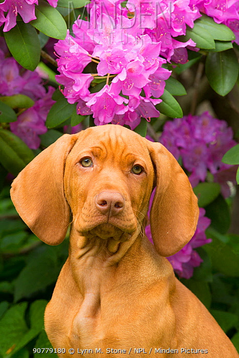 Hungarian Vizsla head portrait,  in front  of  Rhododendron flowers,  Connecticut, USA.