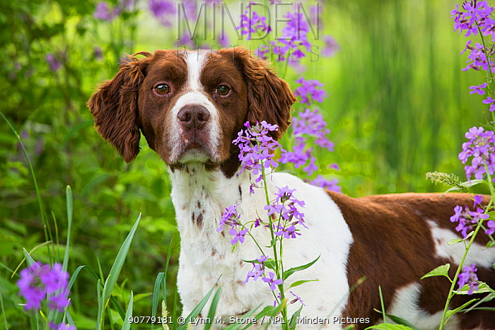 Brittany dog among Phlox, in field, Amston, Connecticut, USA.