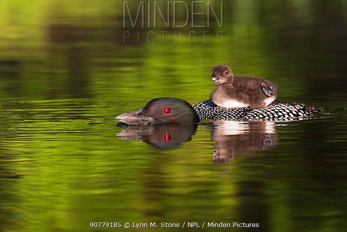 Common loon (Gavida immer) with sleepy chick  on its back, initiating a dive during which it will leave chick unattended,  New Hampshire, USA. Non-ex.