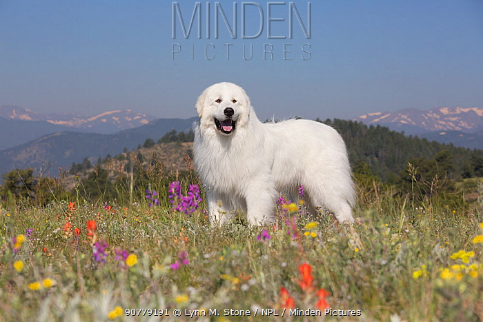 Great Pyrenees dog  in meadow of Rocky Mountain foothills, Colorado, USA. Non-ex.