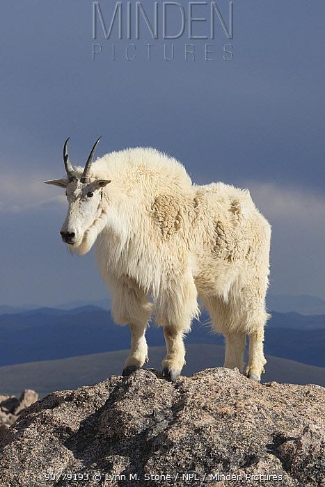 Rocky Mountain Goat (Oreamnos americanus) male on rocks at 14,000 feet elevation, Mount Evans, Colorado, USA. July.