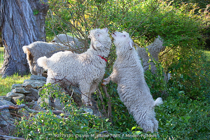 Angora Goats browsing shrub leaves along stone fence in mid-September, East Hampton, Connecticut, USA. Non-ex.