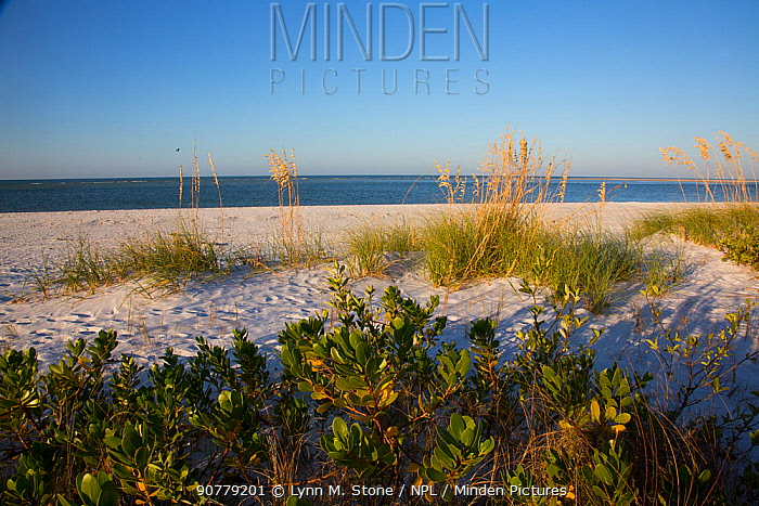 Upper north beach on Miullet Key, with Sea Oats (Uniola paniculata) growing on sand dunes St. Petersburg, Florida, USA. November.