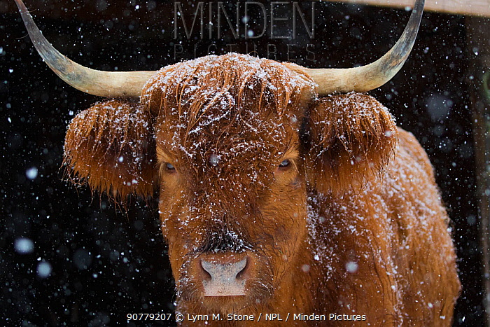 Scotch Highland cow in barn, peering out into snow, Madison, Connecticut, USA. February. Non-ex.