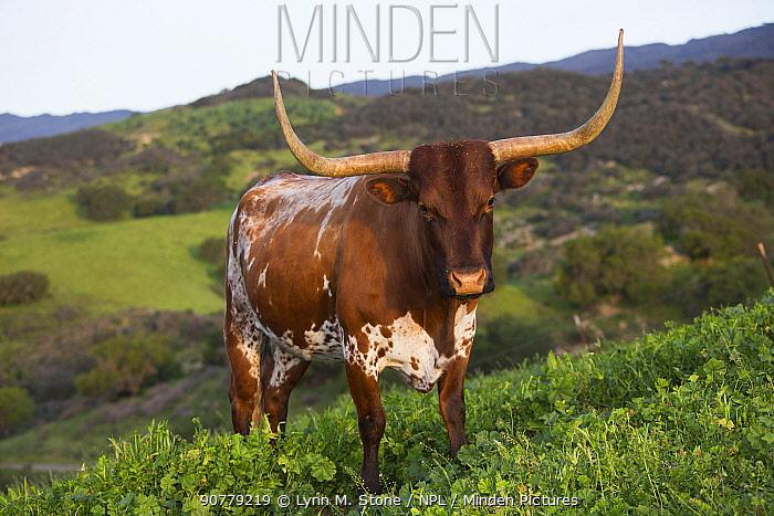 Texas Longhorn cow on high country pasture, Santa Ynez Mountains foothills, Goleta, California, USA. March.