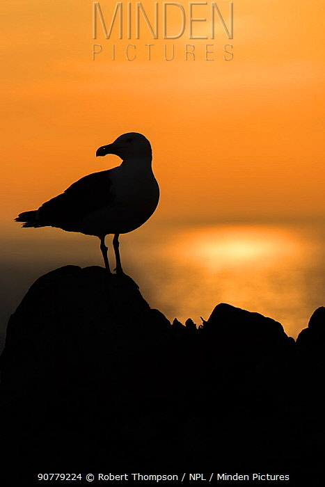 Great black backed gull (Larus marinus) silhouetted, Saltee Islands, County Wexford,  Ireland.