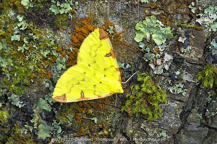 Brimstone moth (Opisthograptis luteolata)  Banbridge, County Down, Northern Ireland, June.