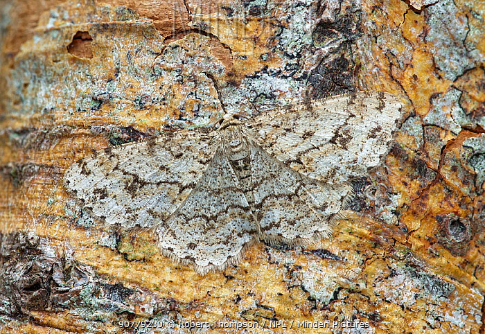Engrailed moth (Ectropis crepuscularia) camouflaged on tree trunk, River Bann Banbridge, County Down, Northern Ireland.