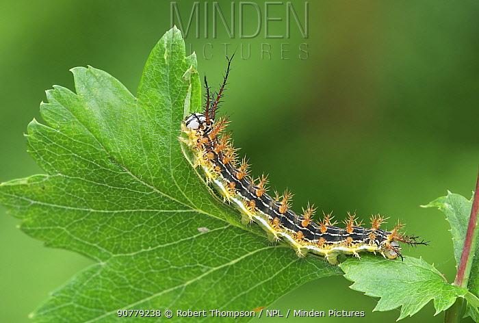 Saturniid moth (Paradirphia lasiocampina) caterpillar, Oaxaca, Mexico