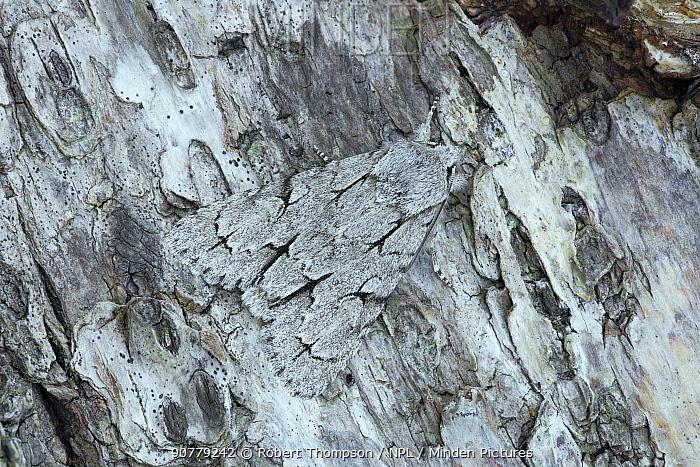 Grey dagger moth (Acronicta psi) Banbridge, County Down, Northern Ireland. June 2013.