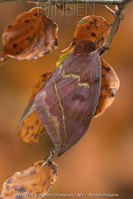 Saturniid moth (Automeris excreta) female, Guatemala.