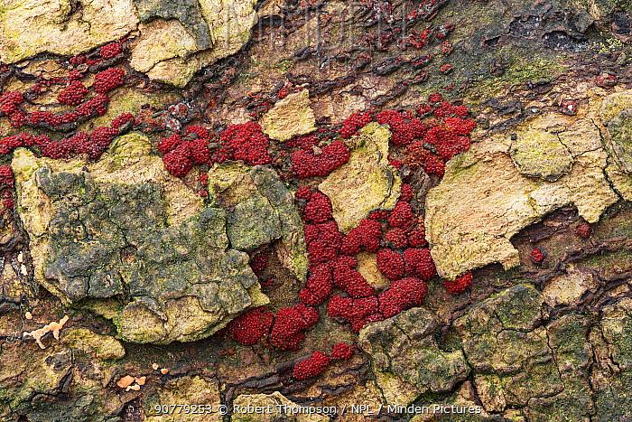 Beech woodwart  fungus (Hypoxylon fragiforme) on beech tree bark, Castle Coole Estate, County Fermanagh, Northern Ireland. October.