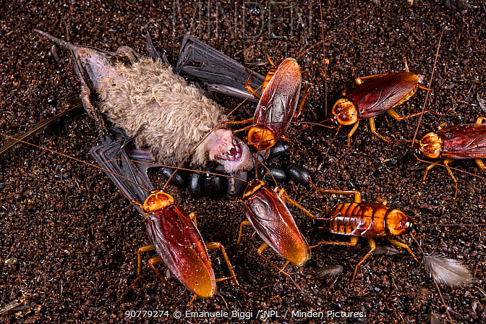 Cockroaches and darkling beetles feeding on a young dead Wrinkle-lipped free-tailed bat (Chaerephon plicatus). Gomantong caves, Borneo, Sabah, Malaysia.