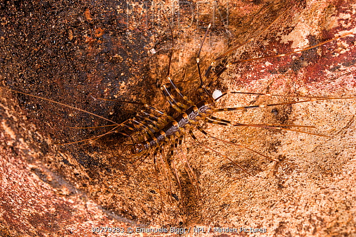 Cave centipede (Thereuopoda longicornis) with sperm pack transferred by a male, Gomantong caves, Borneo, Sabah, Malaysia.