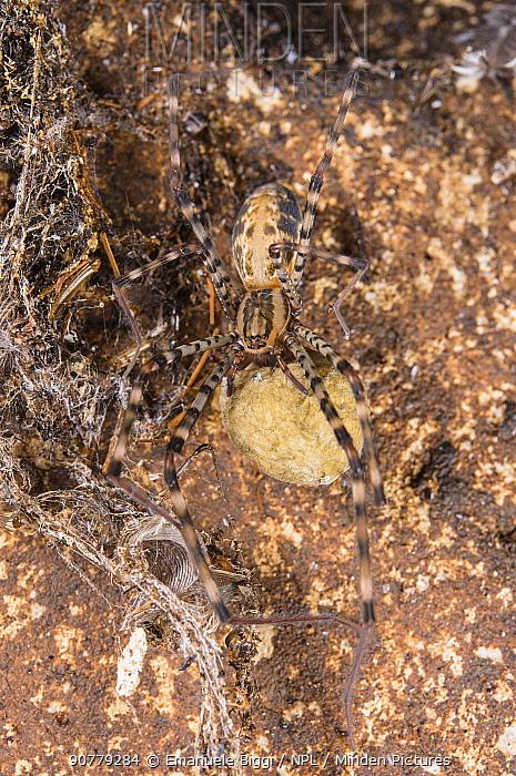 Cave web spider (Psechrus borneo) female with egg sac, Gomantong caves, Borneo, Sabah, Malaysia.