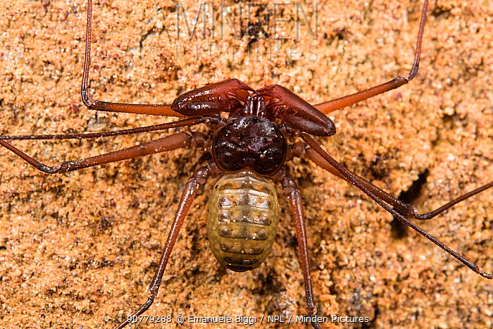 Whip scorpion (Stygophrynus sp.), Deer Cave, Gunung Mulu National Park, Borneo, Sarawak, Malaysia.