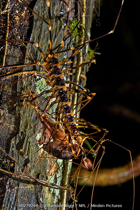 Cave centipede (Thereuopoda longicornis) with a cricket in its jaws, Gunung Mulu National Park, Borneo, Sarawak, Malaysia.