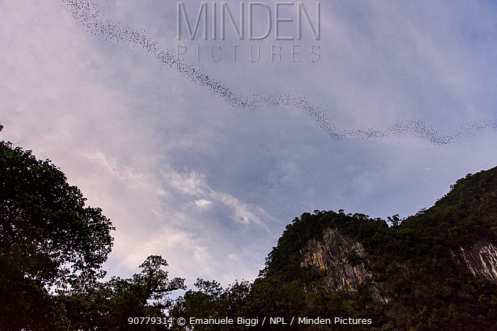 Stream of bats leaving the Deer Cave at dusk. Gunung Mulu National Park, Borneo, Sarawak, Malaysia.