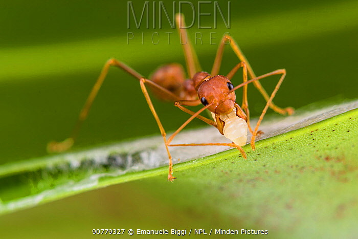 Weaver ants (Oecophylla smaragdina) working building nest, using larva to produce silk which glues leaves together, Sabah, Malaysian Borneo.