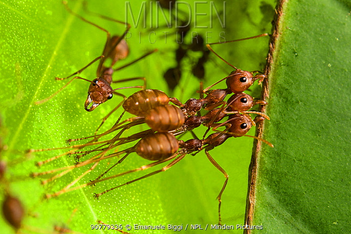 Weaver ant (Oecophylla smaragdina), two workers holding leaf to build the leaf nest typical of this species while another one is weaving them by the use of a larva to glue the leaves using silk. Kota Kinabalu Wetlands, Malaysian Borneo.