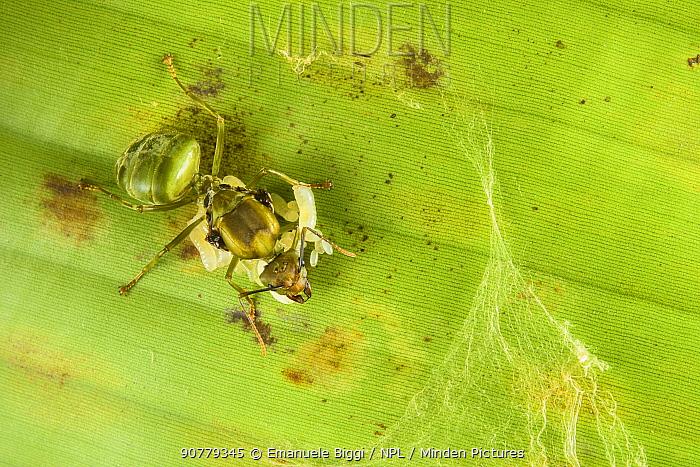 Weaver ant (Oecophylla smaragdina) queen with a brood of eggs,. Sandakan, Sabah, Malaysian Borneo