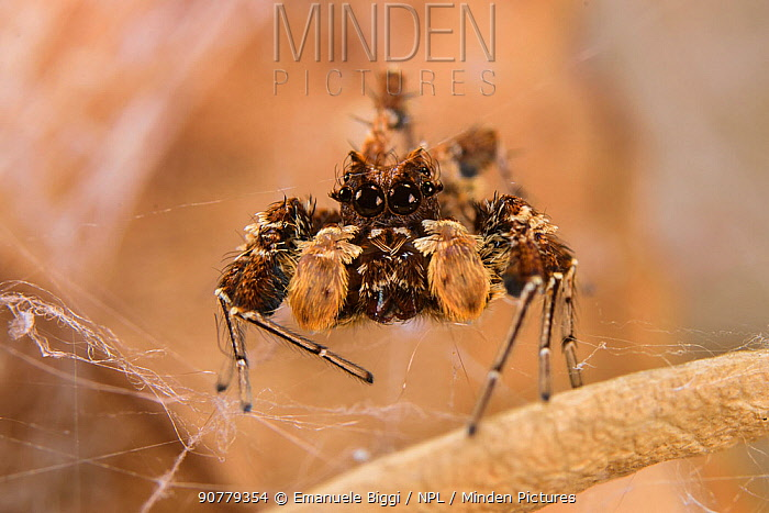 Dandy jumping spider (Portia schultzi) Kwazulu-Natal, South Africa