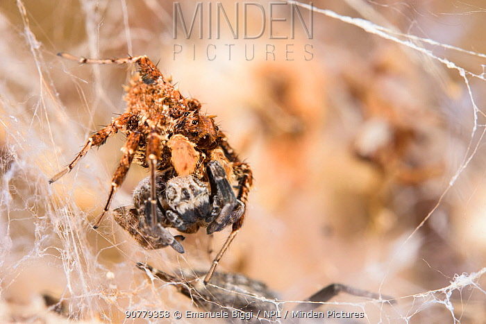 Dandy jumping spider (Portia schultzi) eating a spider (Stegodyphus dumicola) Kwazulu-Natal, South Africa