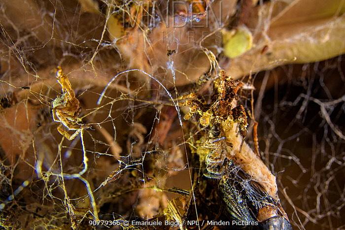 Dandy jumping spider (Portia schultzi)  eating a spider (Stegodyphus dumicola) Kwazulu-Natal, South Africa