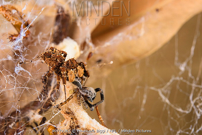 Dandy jumping spider (Portia schultzi)  eating a spider (Stegodyphus dumicola) with spiderling (Archaeodictyna ulova) scavenging  Kwazulu-Natal, South Africa
