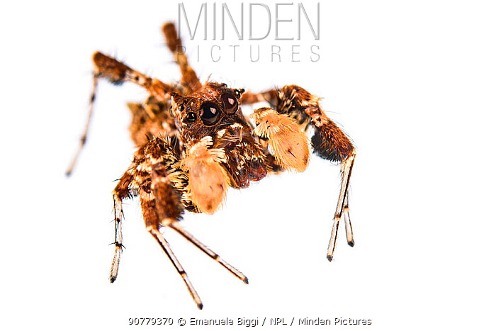Dandy jumping spider (Portia schultzi) on white background, Kwazulu-Natal, South Africa
