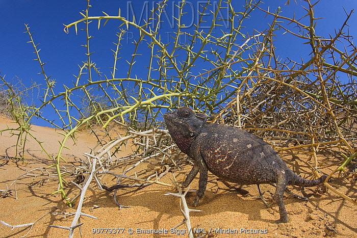 Namaqua chameleon (Chamaeleo namaquensis) Swakopmund, Namibia.